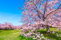 東京都 昭和記念公園 満開の桜