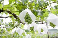 山梨県 葡萄
