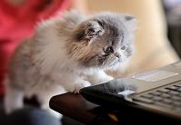 ラップトップを見る猫