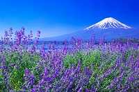 山梨県 富士山とキャットミントの咲く大石公園