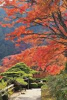 京都府 善峯寺 紅葉と 遊龍の松