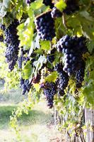 イタリア ヴェネト州 葡萄