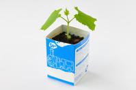 ツルレイシ 牛乳パックを利用した育苗の様子 4/7 子葉と本葉の成長