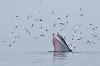 カツオクジラ
