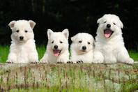 アメリカンホワイトシェパード 犬