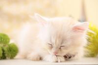 サイベリアン 子猫