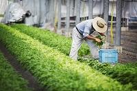 収穫する農家