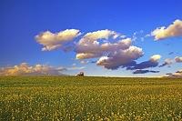 芥子菜畑と青空