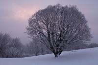 長野県 大峰高原 大楓雪化粧