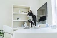 パソコンの前に立つ猫