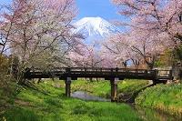 山梨県 忍野 残雪の富士山と桂川沿いの桜並木