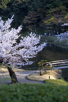 東京都 小石川後楽園 桜 夕景