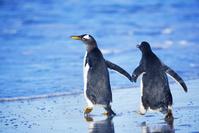 フォークランド諸島 シーライオン島 ジェンツーペンギン