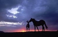 アメリカ合衆国 馬の親子