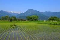 長野県 有明山 水田