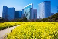 東京都 浜離宮 菜の花