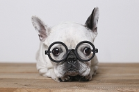 眼鏡のフレンチ・ブルドッグ 犬