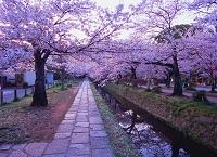 京都府 哲学の道とサクラ並木