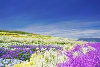 長野県 松本市 信州花フェスタの花畑と蝶ヶ岳など北アルプス遠望
