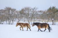青森県 寒立馬