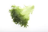 フリルレタス(Frill lettuce)