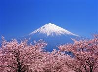 静岡県・富士宮市 サクラと富士山