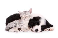 ボーダーコリーの子犬と子猫