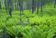 長野県 ヤマドリゼンマイ茂る林床