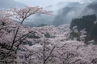 霧雨に煙る妙義山の桜