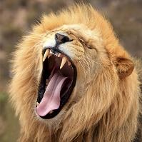 大きな口を開けたライオン