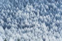 長野県 霧氷の林