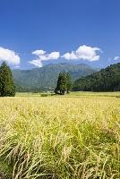 新潟県 稲の実りと八海山