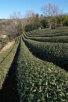 静岡県 伊豆の国市 茶畑