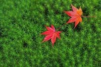 京都府  京都市 嵯峨野の紅葉 杉苔に散る