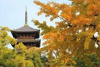 京都府 東寺 五重塔と夕日に染まる銀杏の黄葉