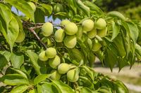 埼玉県 ウメの果実