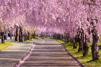 福島県 喜多方市 日中線記念自転車歩行者道のしだれ桜