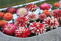 奈良県 岡寺 手水舎に浮かべられた天竺牡丹(ダリア)