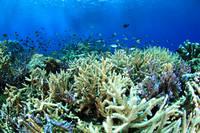 コモド諸島 サンゴ礁