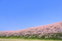 岐阜県 大島堤の桜並木と青空