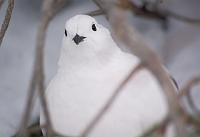 長野県 雷鳥(メス)
