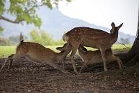 奈良公園 木陰で授乳している鹿の親子