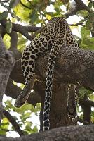 ケニア サンブル国立保護区 ヒョウ