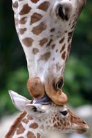 キリンの親子,クアラルンプール国立動物園