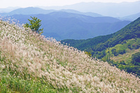 奈良県 曽爾高原のススキ