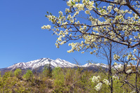 長野県 乗鞍高原のこなしの花と乗鞍岳と青空