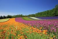 北海道  ファーム富田の花畑