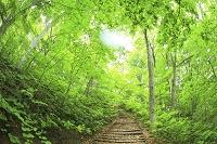 青森県 鯵ヶ沢町 ミニ白神 新緑のブナ林