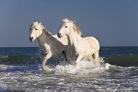 水辺を走る馬