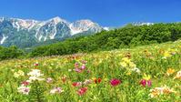 長野県 白馬岩岳ゆり園